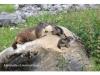 marmotte et marmotons